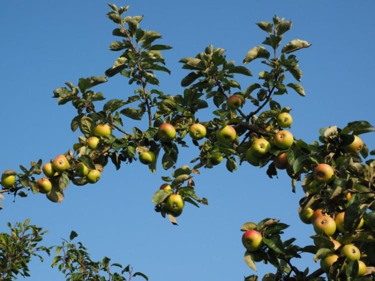 apple-tree-Jean-Michel Lucas